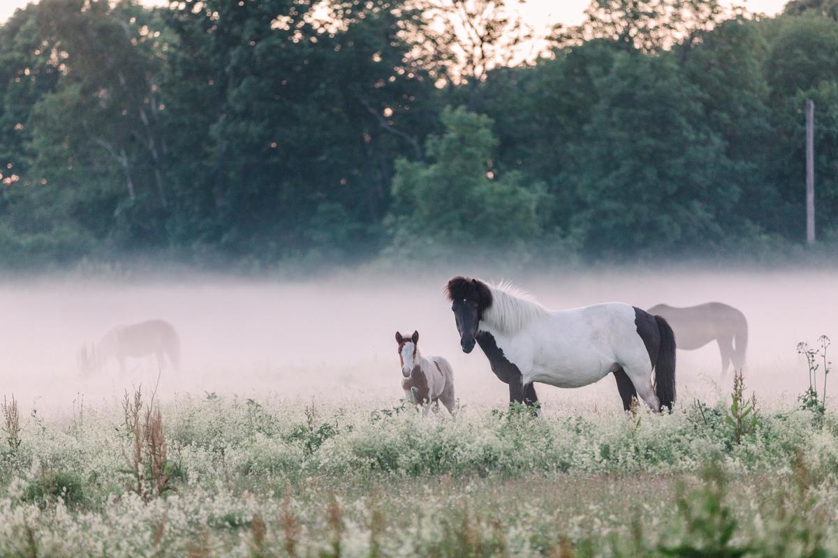 Hästar i dimman på Fårö