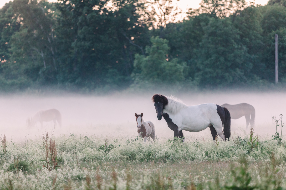 Hästar, Dimma, Fårö